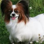 パピヨンの子犬