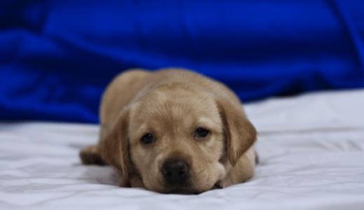 子犬 ストレス イライラ